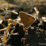 Yureka Butterfly